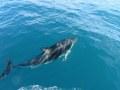 Kaikoura-Dolphin