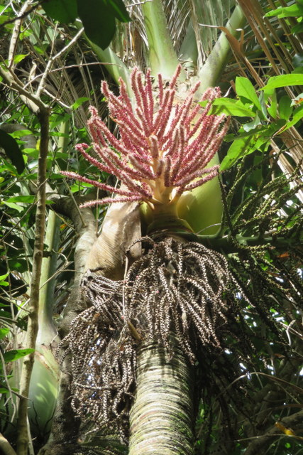 nikau in flower