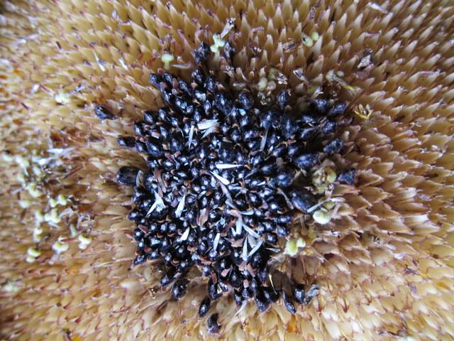 24-sunflower3